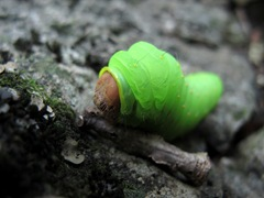 fat green caterpillar head