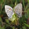 Northern Blue Butterflies Mating