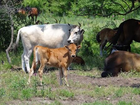 14. Vaci in Padurea Letea.JPG