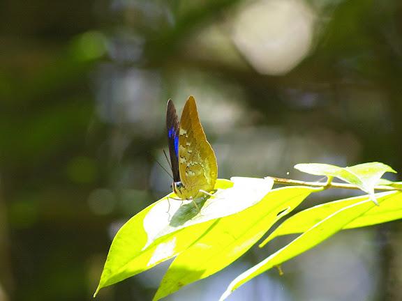 Prepona pheridamas pheridamas CRAMER, 1777, mâle. Près de Point chaud sur la Crique Nouvelle France. Saül (Guyane), 1er décembre 2011. Photo : J.-M. Gayman