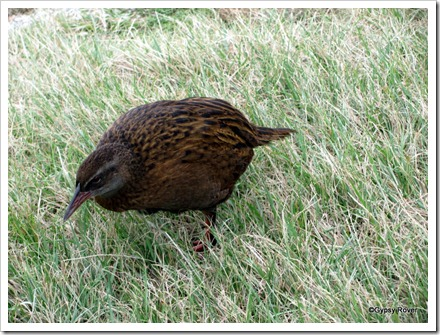 This Weka had a wonky leg.