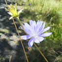 Ragged-Sailor Chickory