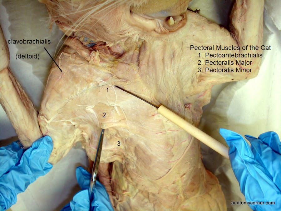 Cat Muscles Dissection Anatomycorner