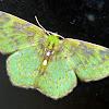 green geometer moth