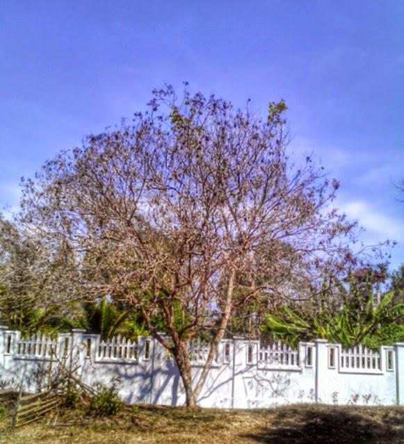 pokok rambutan kering
