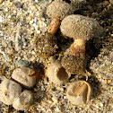 Tulostoma fimbriatum var. campestre (Morgan) G. Moreno