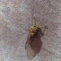 Cicada, kihikihi kai