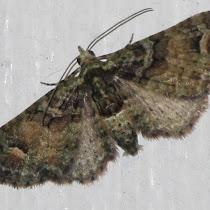 N.Z. Moths and Butterflies