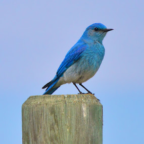 True Blue by  J B  - Animals Birds ( bluebirds, thrush, true blue, birds, mountain bluebirds )