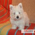 Terrier alb din vetul tarii de sus