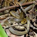 Garter Snakes, mating
