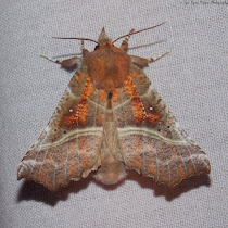 Moths of Maine