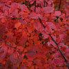 Rose Glow Japanese Barberry