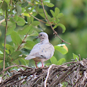 Eared dove (Avoante)