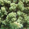 Broccoli Soft Coral