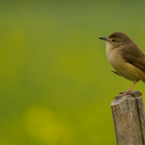 Dancing Prinia by Aritra Sur - Animals Birds ( field, bird, mustard, nature, , renewal, green, trees, forests, natural, scenic, relaxing, meditation, the mood factory, mood, emotions, jade, revive, inspirational, earthly )