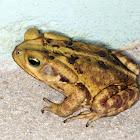 Sapo-boi (Cane toad)