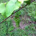 Norton or Cynthiana grape