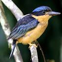 Juvenile Buff-breasted Paradise-Kingfisher