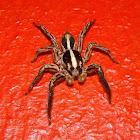 Pantropical Jumping Spider (♂)