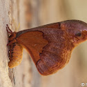 Sweetbay Silk Moth