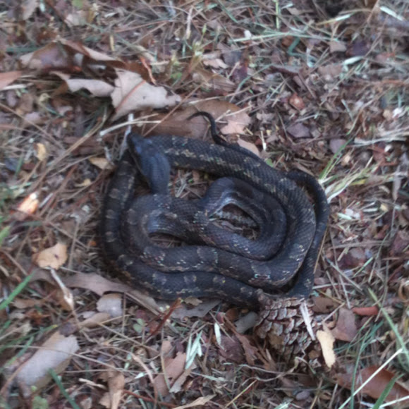 rat snake texas images - photo #34
