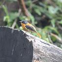 orange and black flycatcher
