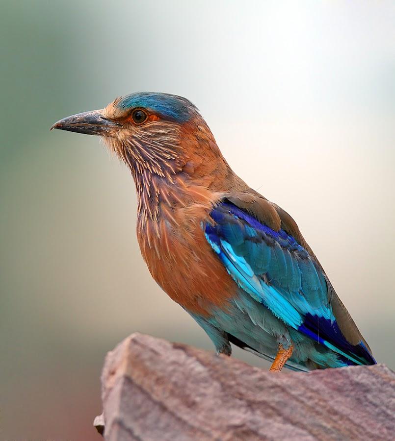 Indian Roller by Devki Nandan - Animals Birds (  )