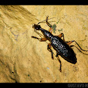Grace's Elegant Canopy Beetle