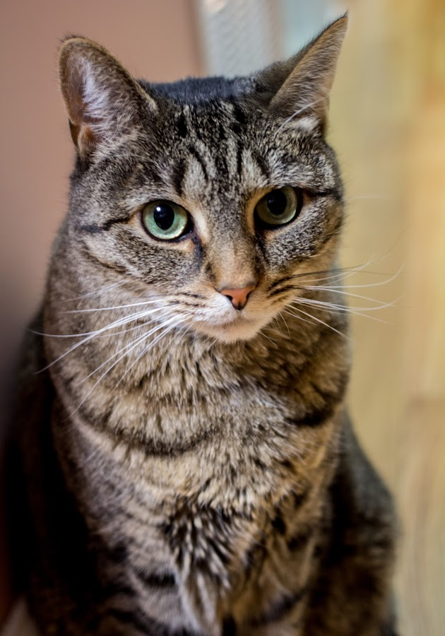 Phoebe by Luis Mendez - Animals - Cats Portraits
