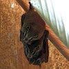 Tent-making bat