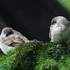 House sparrow (fledglings)
