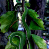 Pope's Bamboo Pit Viper