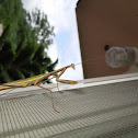 Praying mantis vs katydid