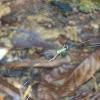 Golden Orb-Weaver