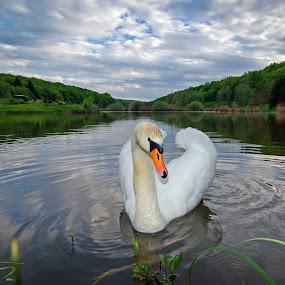 Swan XI by Zoran Rudec - Animals Birds ( swan )