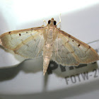 Two-spotted Herpetogramma
