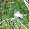 Haircap Moss (Goldilocks)