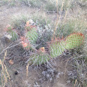 Hairspine Pricklypear