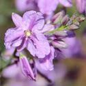 Common Vanilla Lily