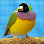 Talking Finch Bird