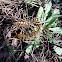 Mediterranean banded centipede