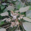 Kukui (Candlenut tree)