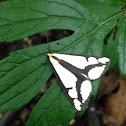 Clemens Haploa moth