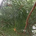 White Pine (Eastern White Pine)