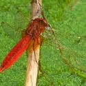 Scarlet Darter