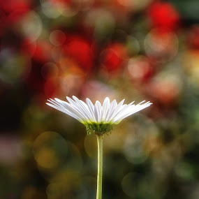 Gerbera by Soham Banerjee - Flowers Single Flower (  )