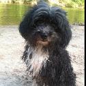 Molly- Shih-poo Mix Dog