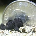 Painted Frogfish - Juvenile, Black