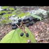 Maple-leaf Viburnum